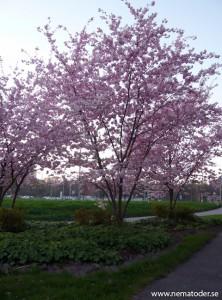Vårbild, blommande träd